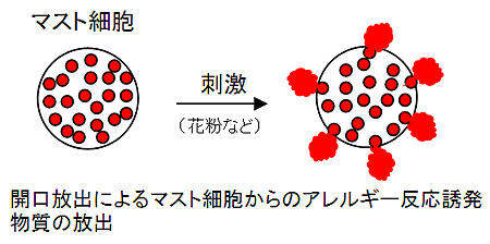 開口放出によるマスト細胞からのアレルギー反応誘発物質の放出