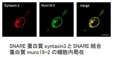 SNARE蛋白質syntaxin3とSNARE結合蛋白質munc18-2の細胞内局在